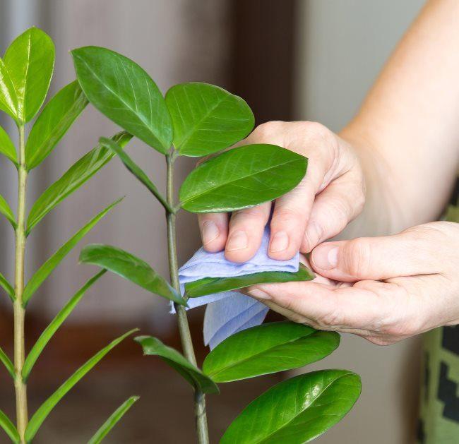 Протирание листьев замиокулькаса мокрой салфеткой в качестве профилактики возникновения пятен