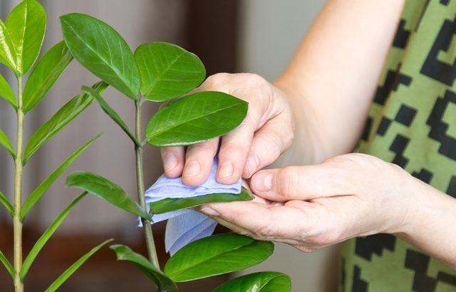 Протирание зеленых листьев замиокулькаса влажной тканью в домашних условиях