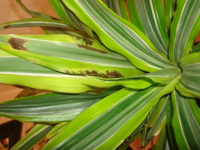 Длинные листья драцены пестрой окраски с коричневыми пятнами