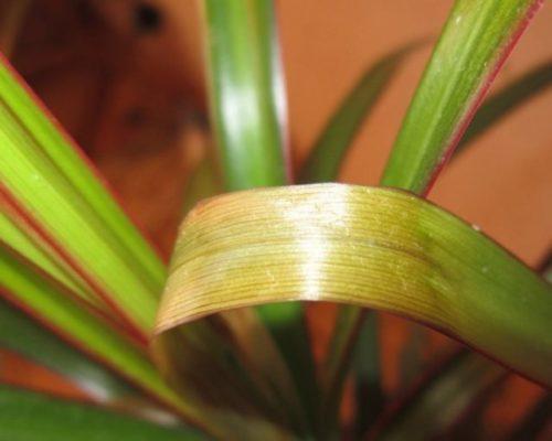 Пожелтение листа драцены при пятнистом увядание растения