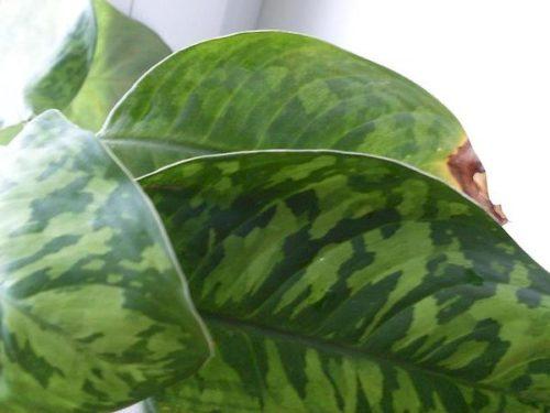 Небольшое коричневое пятно на листе хомаломена