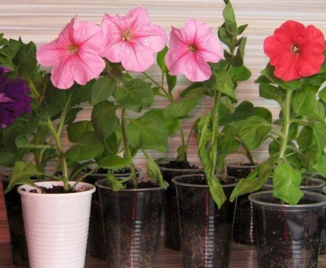 Розовые цветки на рассаде петунии в пластиковых стаканчиках