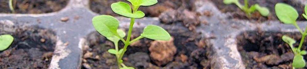 Рассада петунии в горшках для открытого грунта