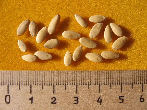 Размеры семечек огурцов для посадки в открытый грунт садового участка