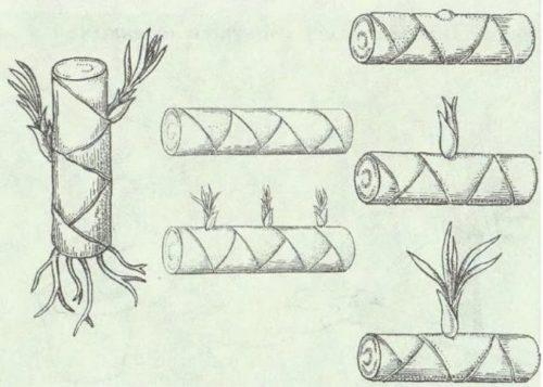Схема размножения драцены деремской с помощью стеблевых черенков