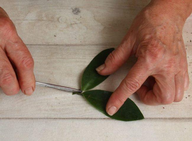 Разрезание листьев замиокулькаса острым скальпелем при посадке в домашних условиях