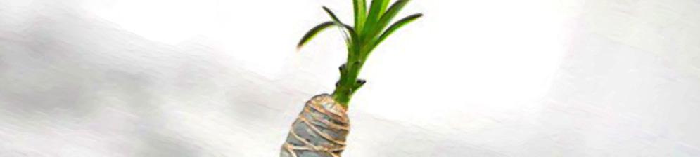 Свежий зелёный росток драцены из срезанного черенка