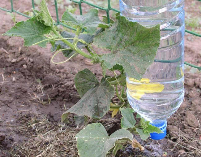 Капельный полив куста огурца из старой пластиковой бутылки