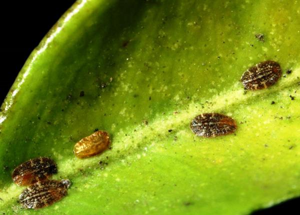 Коричневые щитовки на светло-зеленом листе замиокулькаса