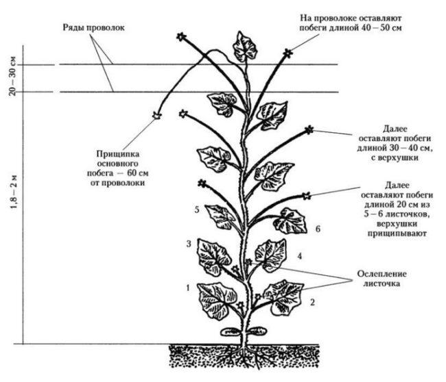 Схема подвязки и обрезки огурцов при выращивании в тепличных условиях