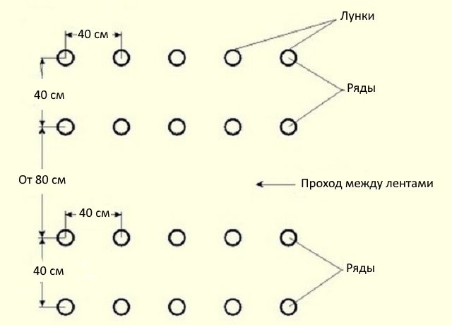Схема посадки огурцов в теплице ленточным способом в два ряда