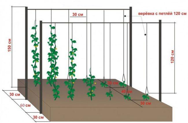 Схема выращивания огурцов в теплице на шпалере из проволоки