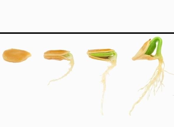 Схема развития семечки огурца в начале вегетационного периода