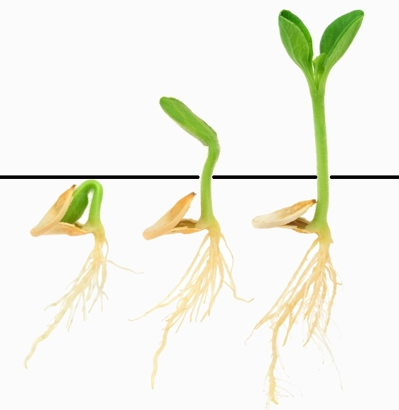 Схема развития семени огурца от зародыша до появления листьев