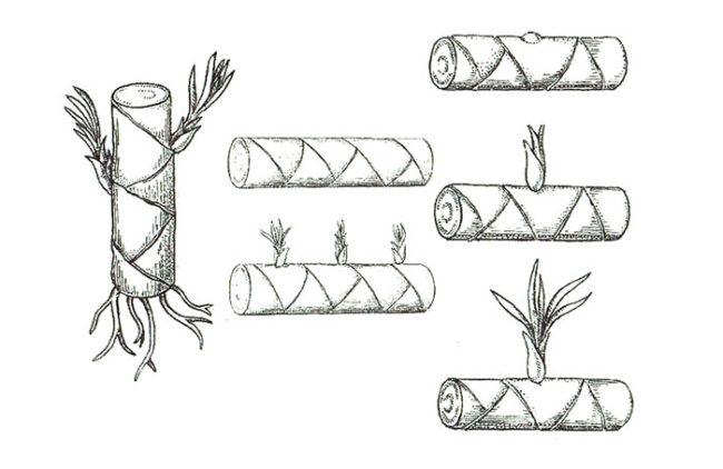Схема укоренения стеблевых черенков драцены в домашних условиях