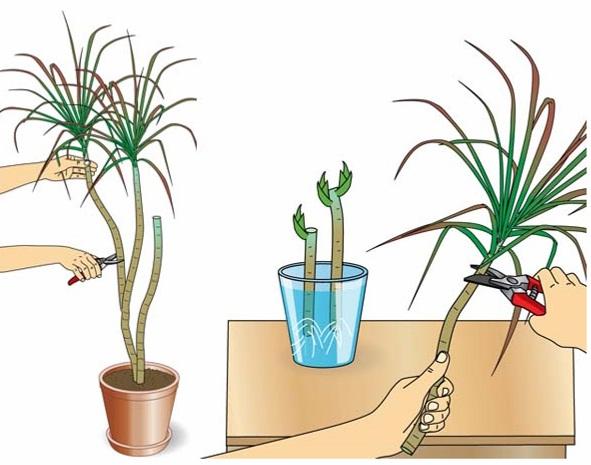 Процесс размножения драцены с помощью верхушек в картинках