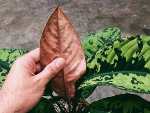 Сухой лист хомаломена при недостаточном поливе в условиях квартиры