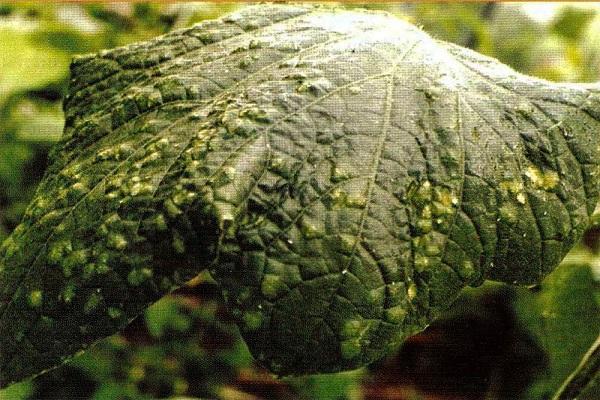 Бугристая поверхность листа огурца при поражении растения табачной мозаикой