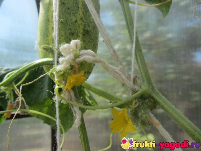 Тля на кусте огурца и на плоде и на стебле