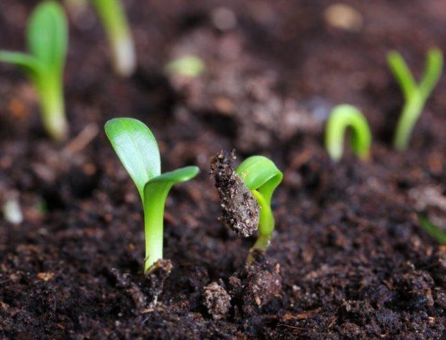 Дружные всходы огурцов в плодородном грунте на открытой грядке
