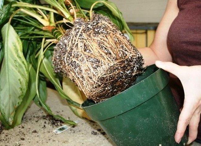Извлечение корневой системы драцены из старого пластикового горшка