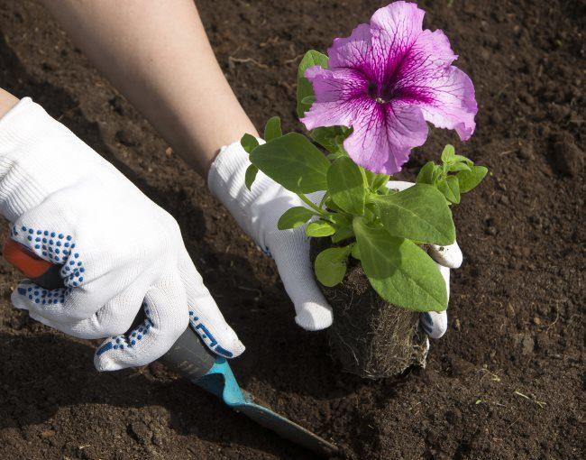 Высадка рассады петунии в открытый грунт с целым комом земли