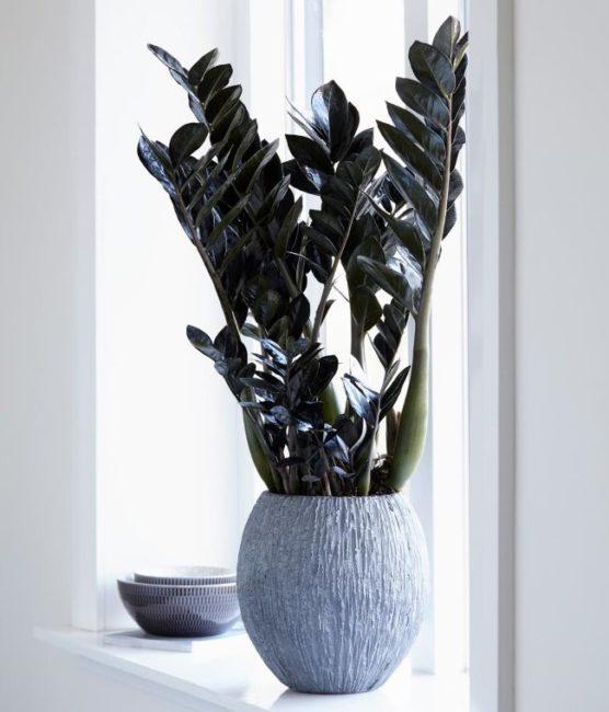 Черный замиокулькас в керамическом горшке на белом подоконнике