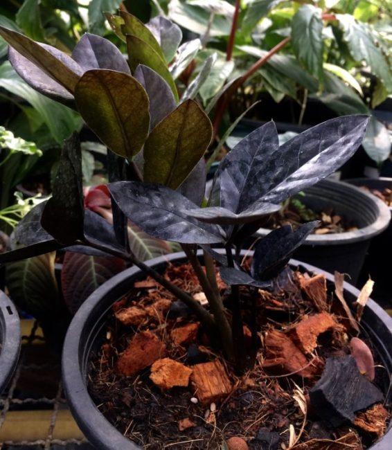 Темные листья пурпурного замиокулькаса небольшого роста из Кореи