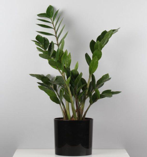 Зеленые листья замиокулькаса в черном пластиковом горшке среднего размера