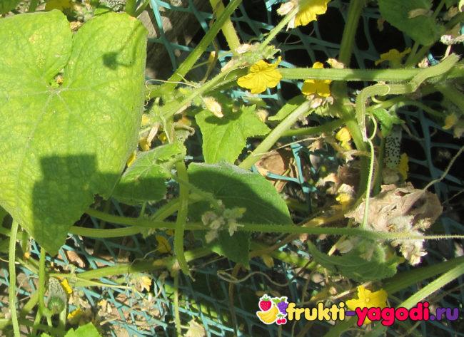 Пуплята огурцов уже в стадии зеленцов в теплице