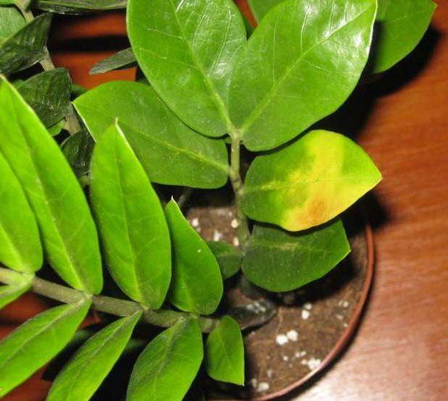 Пожелтение листа замиокулькаса при недостаточном поливе растения