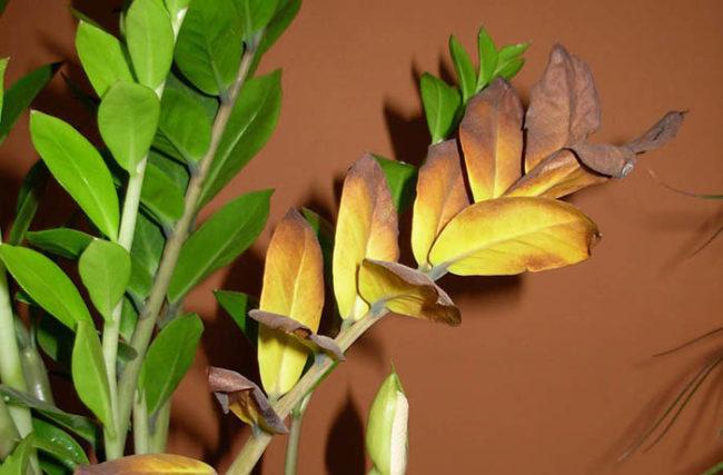 Ветка домашнего замиокулькаса со старыми желтеющими листьями
