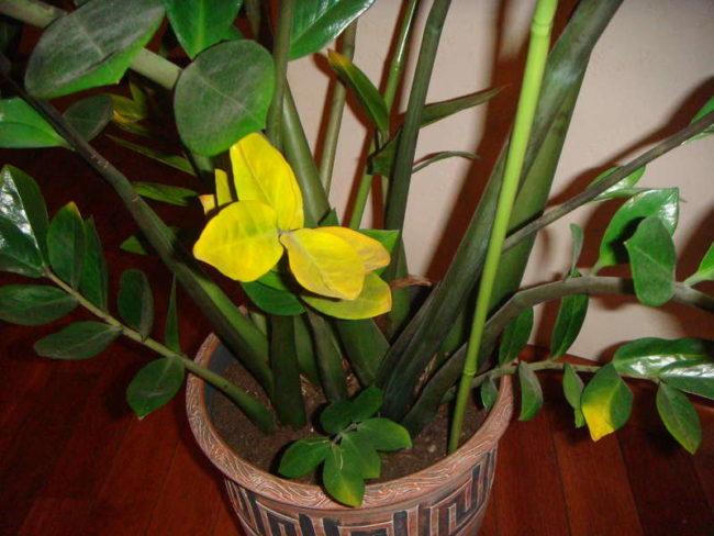 Желтые листья замиокулькаса при избыточном поливе в домашних условиях