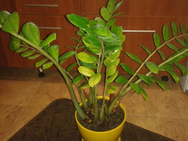 Пожелтение листьев замиокулькаса при недостаточном поливе в домашних условиях