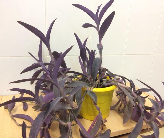 Плетистые стебли сеткреазии с фиолетовыми листьями продолговатой формы