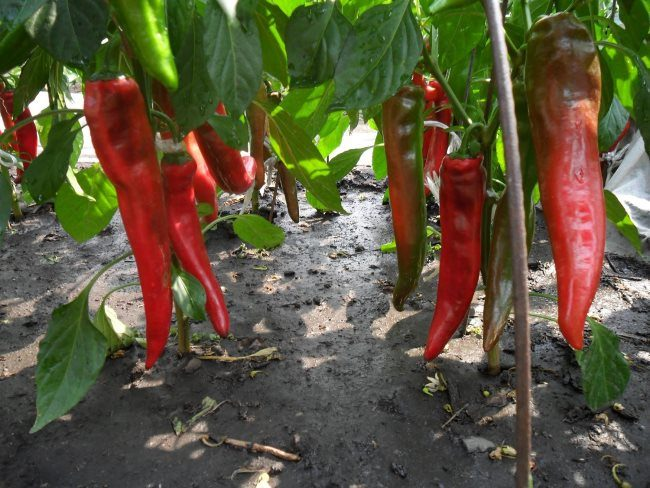 Красные стручки жгучего перца на огородной грядке дачного участка