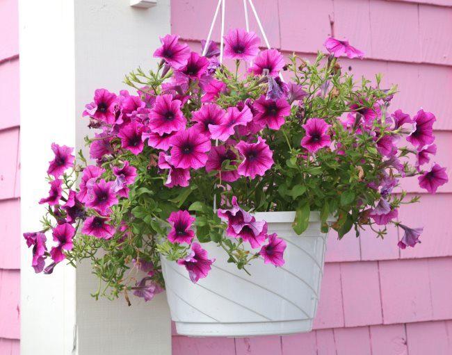 Подвесное кашпо на стене дома с обильно цветущей ампельной петунией