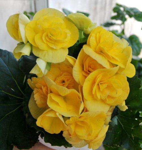 Красивые цветки желтой окраски на бегонии сорта Элатиор