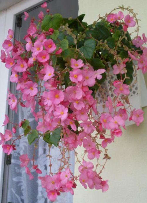 Розовые цветки на ампельной бегонии сорта Глюар ле Лоррейн