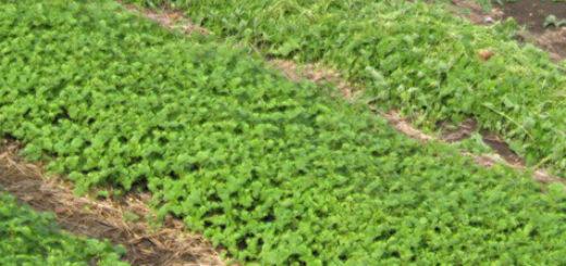 Белая горчица посаженная в несколько рядков на дачном участке