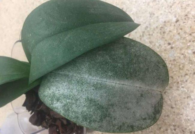 Зеленые листья домашней орхидеи с белым налетом при мучнистой росе