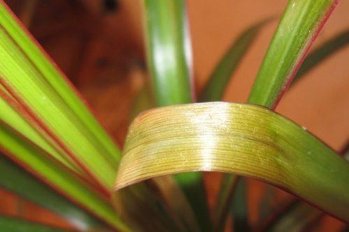 Изменение окраски листа драцены при пятнистом увядании