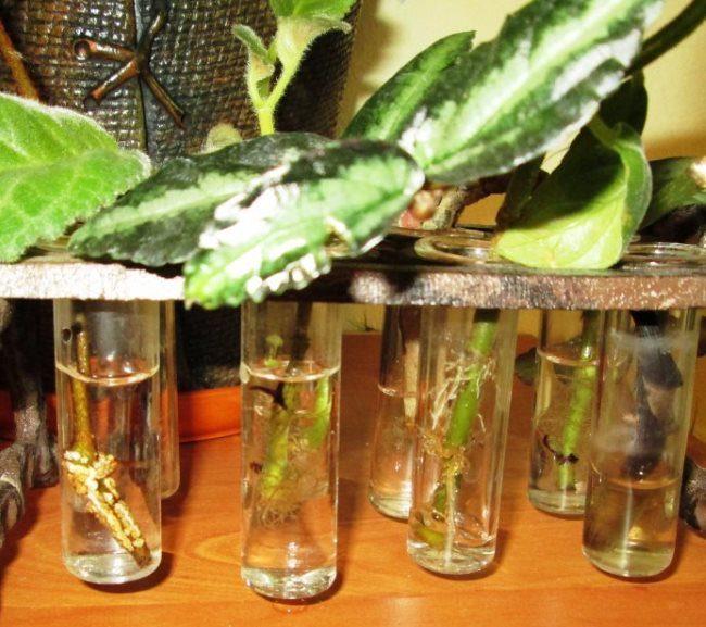 Проращивание в воде корешков на черенках пеллионии даво в домашних условиях