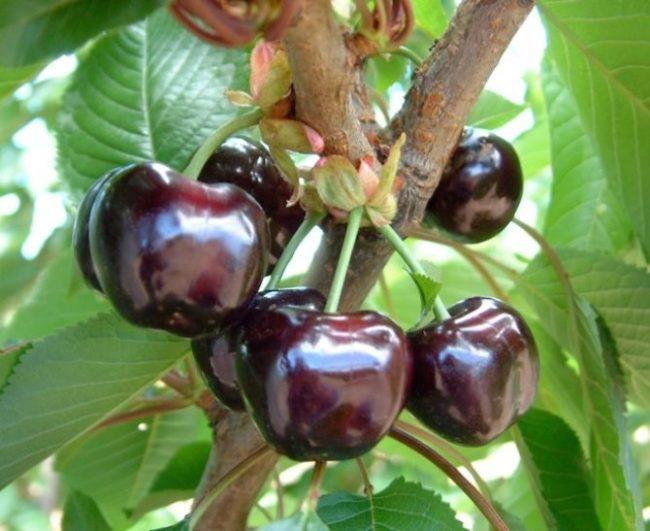 Фото спелых ягод черешни сорта Бигарро насыщенного красно-фиолетового цвета
