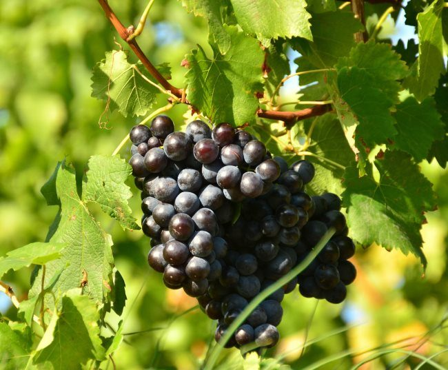 Крупные грозди черного винограда на лозе с зелеными листьями