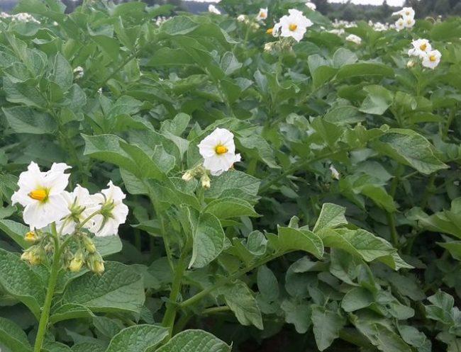 Белые цветки на кустах картофеля с сочными листьями зеленого цвета