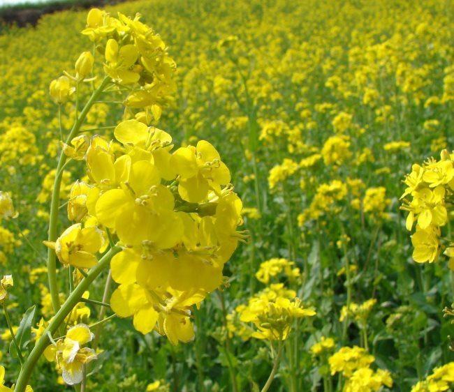 Желтые цветки ярового рапса на фермерском поле