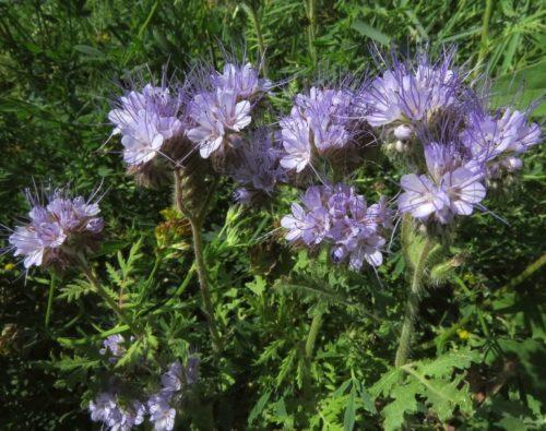 Сиреневые цветки фацелии пижмолистной выращиваемой в качестве медоноса
