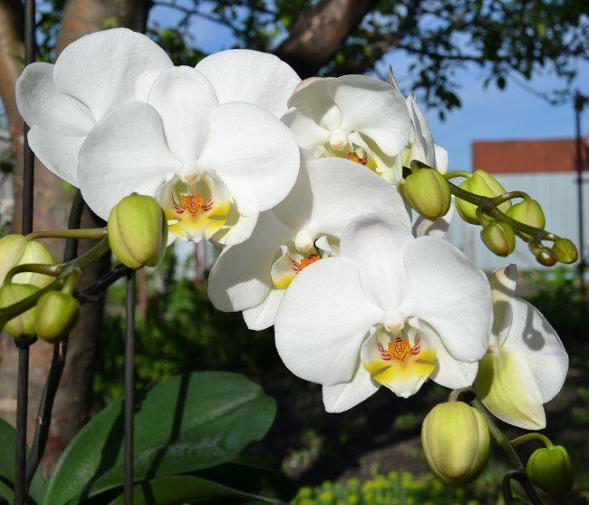 Красивые крупные цветки белого цвета на комнатной орхидее
