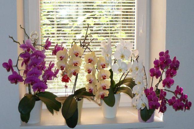 Разноцветные орхидеи на пластиковом подоконнике окна с алюминиевыми жалюзи